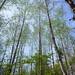 alder forest