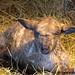 Close up lamb cute 5