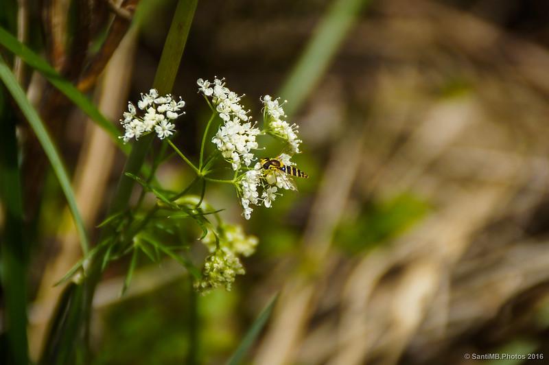 Un sírfido en unas florecillas