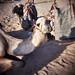 Bedouin camel4