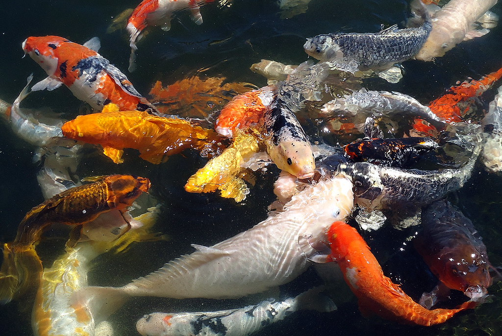 Feeding Frenzy Feeding The Koi Fish At Our Local Garden