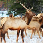 Elk: Wildlife beauty in Jasper National Park.