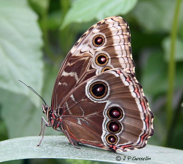 Butterfly morpho peleides common morpho papillon for Jardin botanique montreal papillons 2016