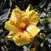 Tropic Escape Hibiscus