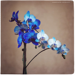 Day 107/365 | March. There is always a place to photography in the life | Blue Orchid | by Annabelle Danchee