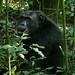 Eastern Chimpanzee (Pan troglodytes schweinfurthii)
