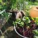 Thinning beet greens in the kitchen garden with baby Cary