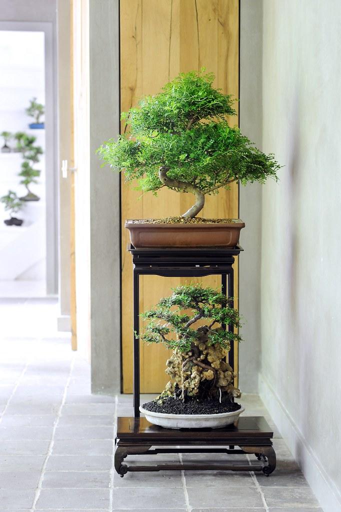 03 der bonsai ist eine treue zimmerpflanze - Bonsai zimmerpflanze ...