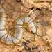 Centopeia // Centipede (Scolopendra oraniensis)