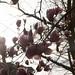 Magnolia blooms into the sun