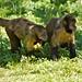 Macaco-prego-de-peito-amarelo  27469