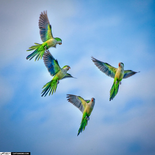 Monk Parakeets Flying in Sky Palm Beach Gardens Florida | by Captain Kimo