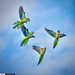 Monk Parakeets Flying in Sky Palm Beach Gardens Florida