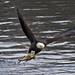 Gone Fishin - Bald Eagle (Le Claire, IA)