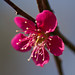 Red plum blossoms