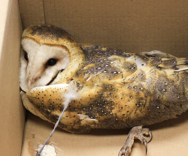 Barn Owl after collision with fence