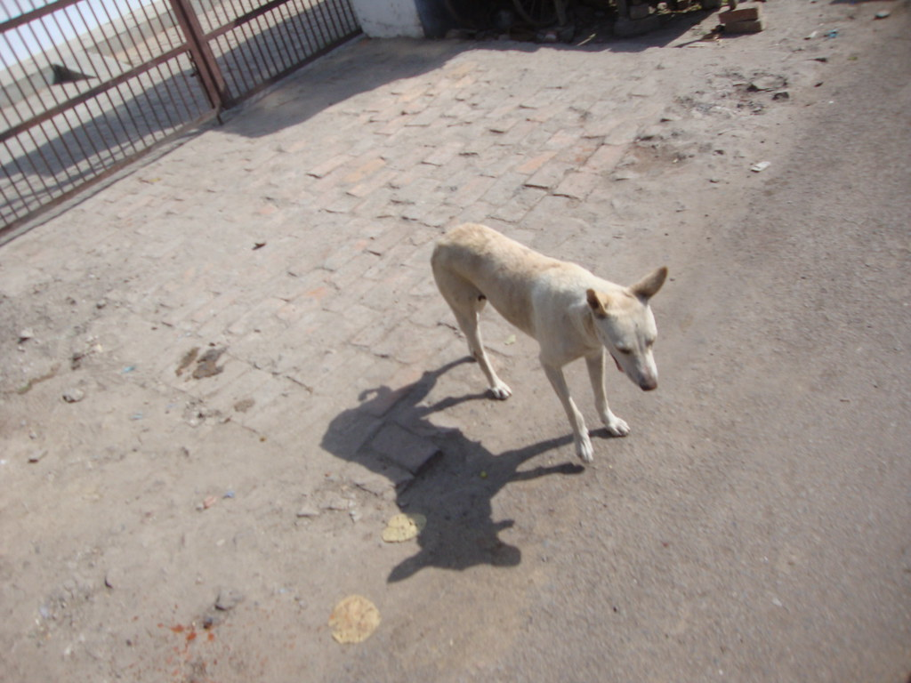 What Breed Are Indian Street Dogs