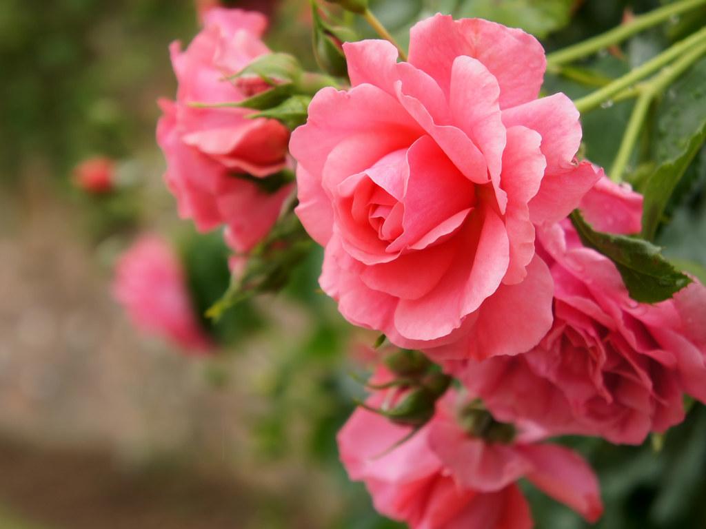 rose rosarium uetersen rose rosarium. Black Bedroom Furniture Sets. Home Design Ideas