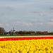 Colorful fields at Goeree Overflakkee