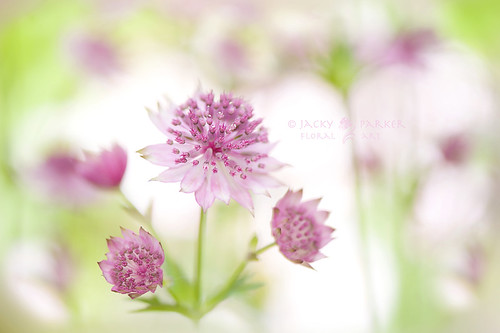 Sweet Astrantias | by Jacky Parker Floral Art