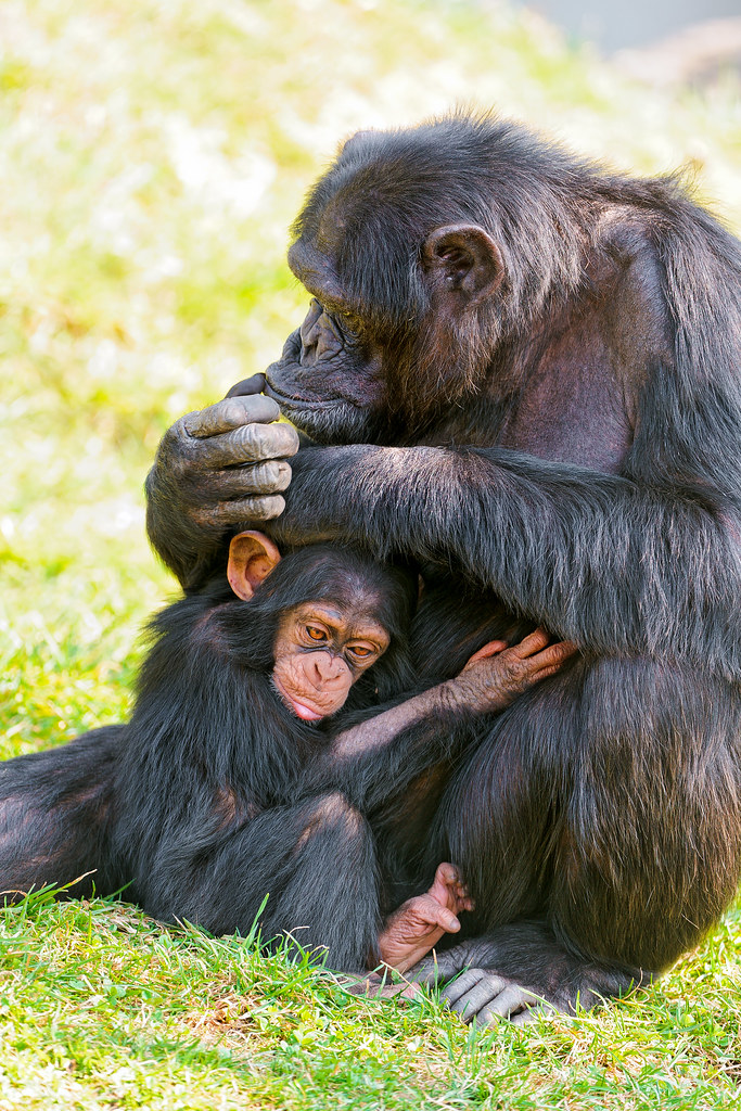 A report on the skills of the female chimpanzee