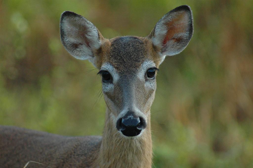 Deer closeup 01 2007 deer big cypress photo tim for Fish and wildlife florida