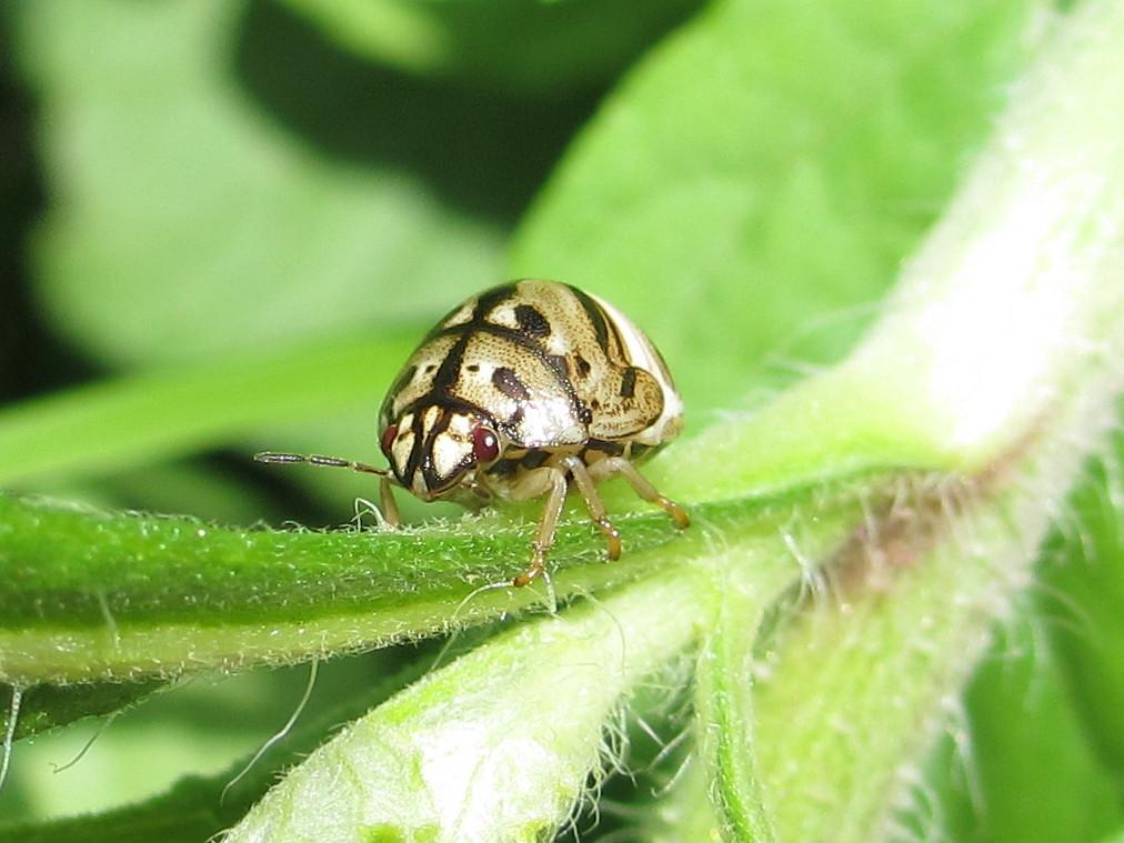 bug - Scutelleridae | Ton Rulkens | Flickr