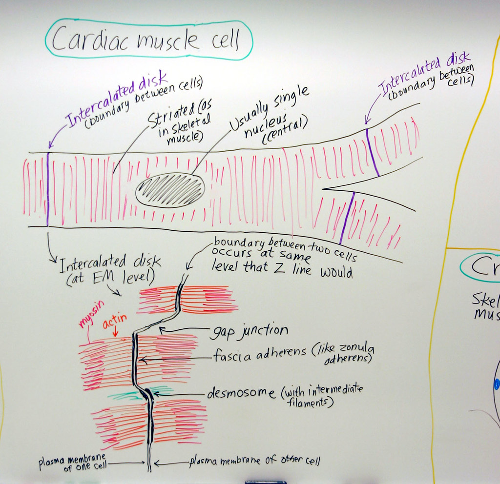 Muscle: Cardiac Muscle Cell | A hand drawn sketch by Dr ...