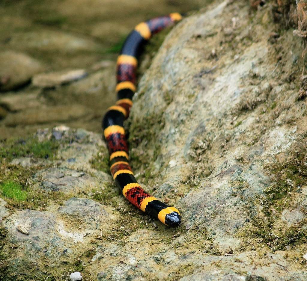 Texas Coral Snake (Micrurus Fulvius