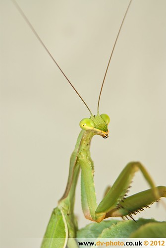 Sphodromantis Viridis | by vaughaag