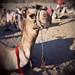 Bedouin camel3