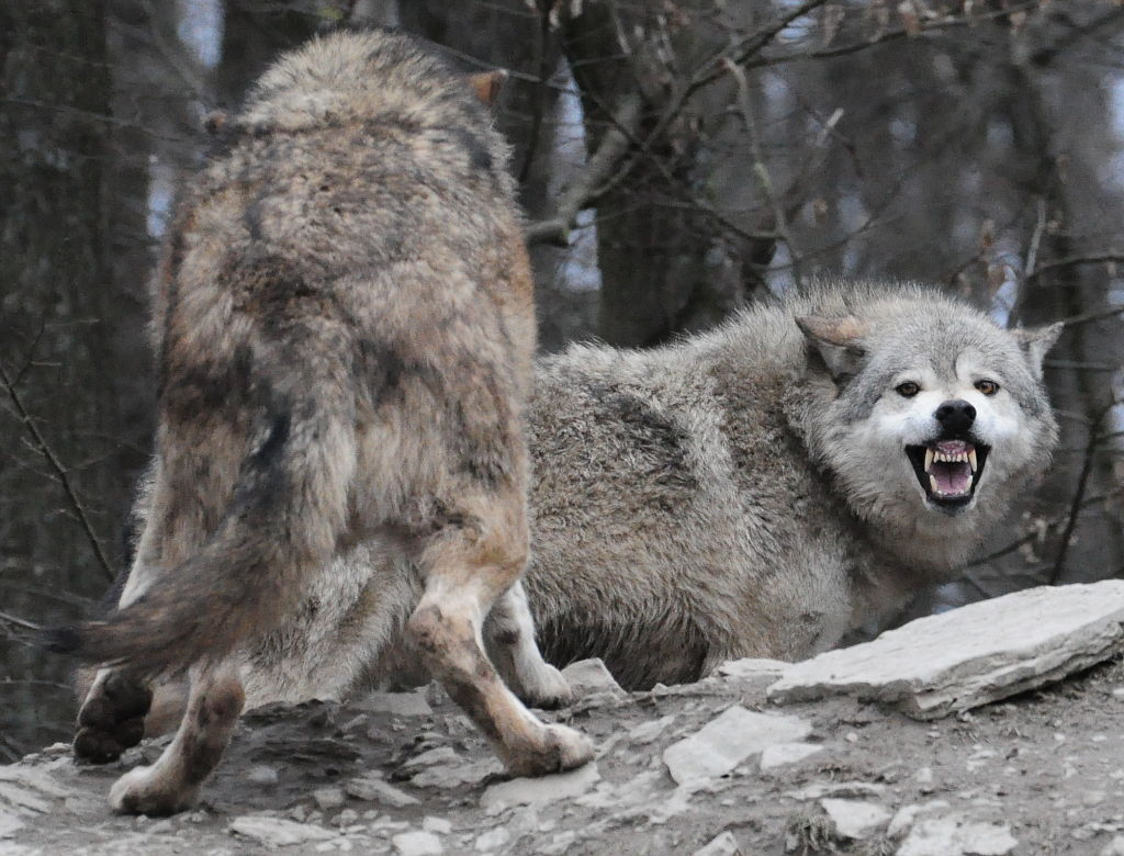 Image Result For Hard Wolf Coloring