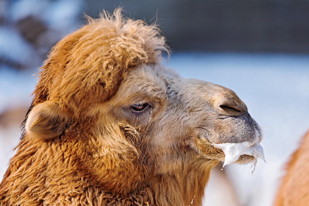 2012 >> Male camel seduction | Here new pictures from the Zürich zoo… | Flickr