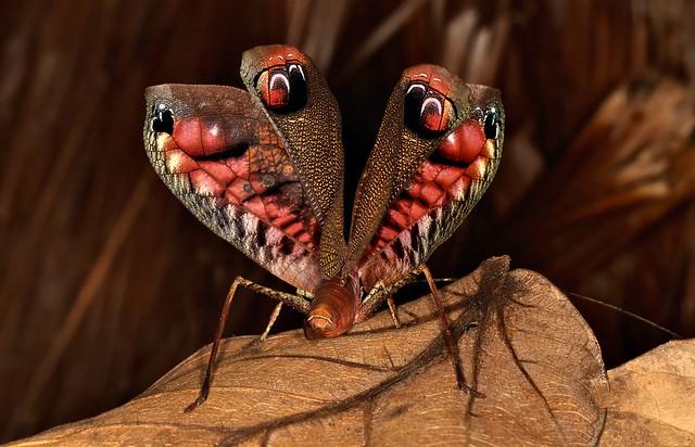 Павлиний кузнечик, перуанский кузнечик (Pterochroza ocellata), фото насекомые фотография