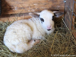 Friday random lamb photos 10 - FarmgirlFare.com | by Farmgirl Susan