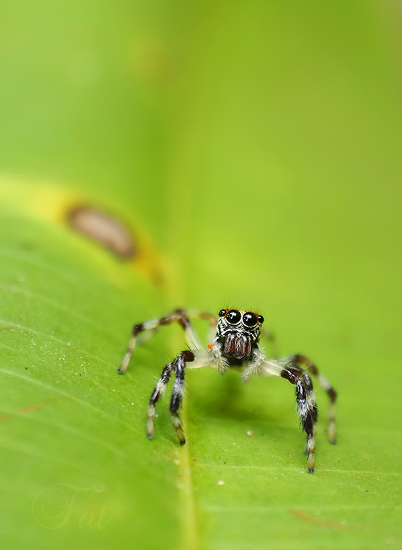 Jumping spider web