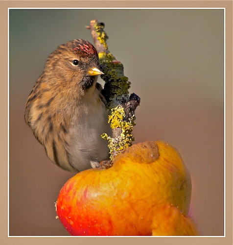 Redpoll | by barnowlterry