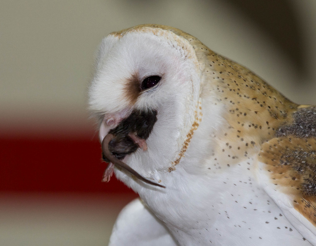 Barn Owl eating a mouse | Captive bird from the Illinois ...
