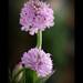 ORCHIS TRIDENTATA* Orchidea screziata* (Neotinea tridentata)