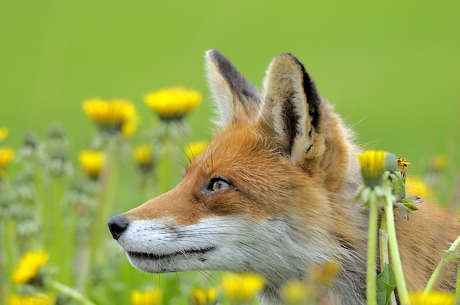 Norway Spring Fox Shutterstock Contributor Approved On
