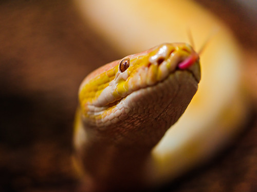 Albino Burmese python with tongue out | by Tambako the Jaguar