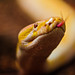 Albino Burmese python with tongue out