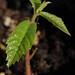 chestnut seedling