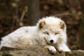 arctic fox | by Cloudtail