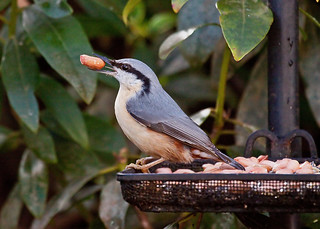 "NUTHATCH ............... ""EXPLORED"" 