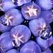 Grape Hyacinth Muscari Macro