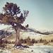 boundary pine