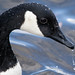 Canada goose Up Close Branta canadensis
