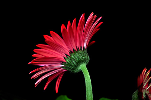 DSC_0019_019 Gerbera | by tsuping.liu