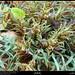 Blepharis ciliaris Plant in Qashroub, Mirbat, Dhofar